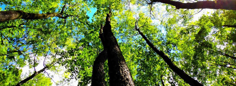 Tree Lopping Tamborine